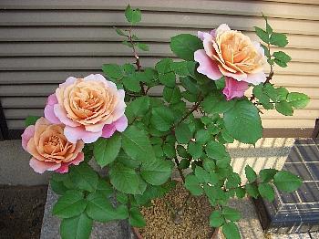 バラのさし木